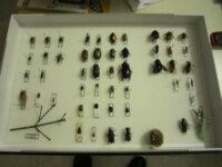 Teca entomologica 1