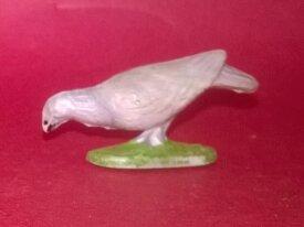 rare pigeon