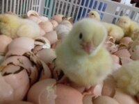 Инкубационное яйцо Бройлеры (Чехия) 1