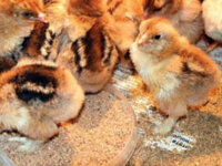 Цыплята суточные 1