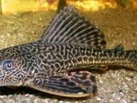 Plecostomus 1