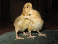 Инкубационное яйцо В-33, Минимясные, Кучинские 2