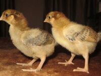 Инкубационное яйцо В-33, Минимясные, Кучинские 3