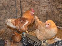 Инкубационное яйцо 3