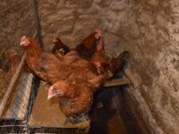 Инкубационное яйцо 5