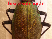 Insects of Iran 2