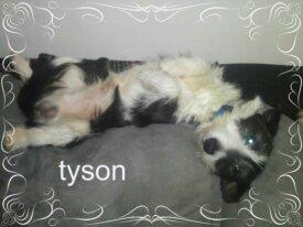 [Les toutous de la secondes chance] Tyson