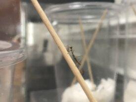Tenodera sinensis nymphs