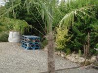 palmiers trachicarpus fortunéi 1