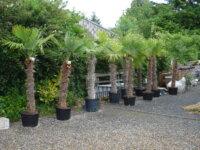 palmiers trachicarpus fortunéi 2