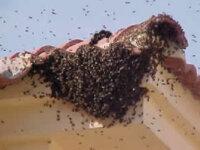 Retiro enjambres de abejas el tabo las cruces 1