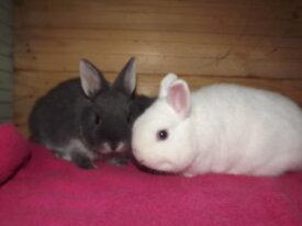 lapins nains polonais