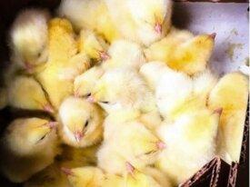 Цыплята суточные бройлеры