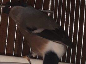 bouvreuil femelle