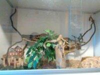 pythons regius  6