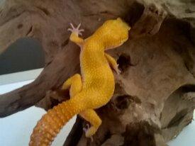 Donne gecko léopard femelle