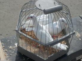 Продажа голубей в Туле