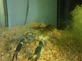 Cherax boesemani phase blue Moon