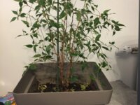 Ficus à vendre 1