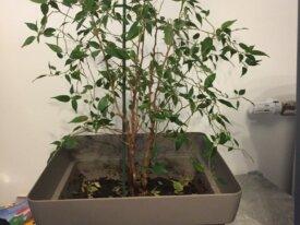 Ficus à vendre
