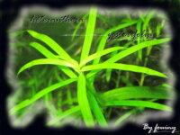 [87+envoi] Diverses plantes d'aquarium d'eau douce 2
