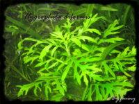 [87+envoi] Diverses plantes d'aquarium d'eau douce 3