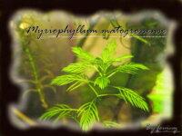 [87+envoi] Diverses plantes d'aquarium d'eau douce 6