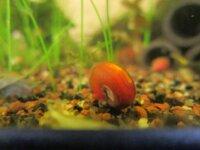 [87+ envoi] Divers escargots d'eau douce 3