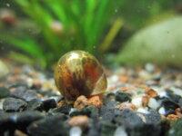 [87+ envoi] Divers escargots d'eau douce 4