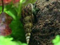 [87+ envoi] Divers escargots d'eau douce 5
