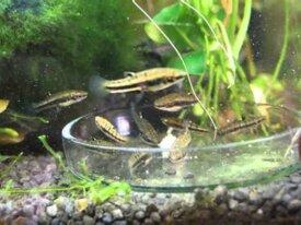 Recherche Heterandria Formosa (poisson moustique)
