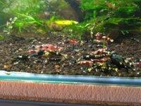 [87+ envoi] Divers crevettes d'eau douce 1
