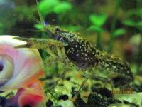 [87+ envoi] Divers crevettes d'eau douce 6