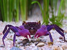 Recherche crabes vampires