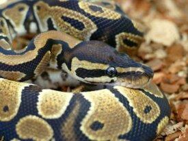 Python regius F1