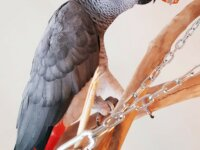 Recherche Lily, notre perroquet gris du Gabon 1