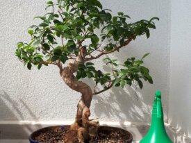 Bonsai Ficus Microcarpa 60cm (Ginseng)