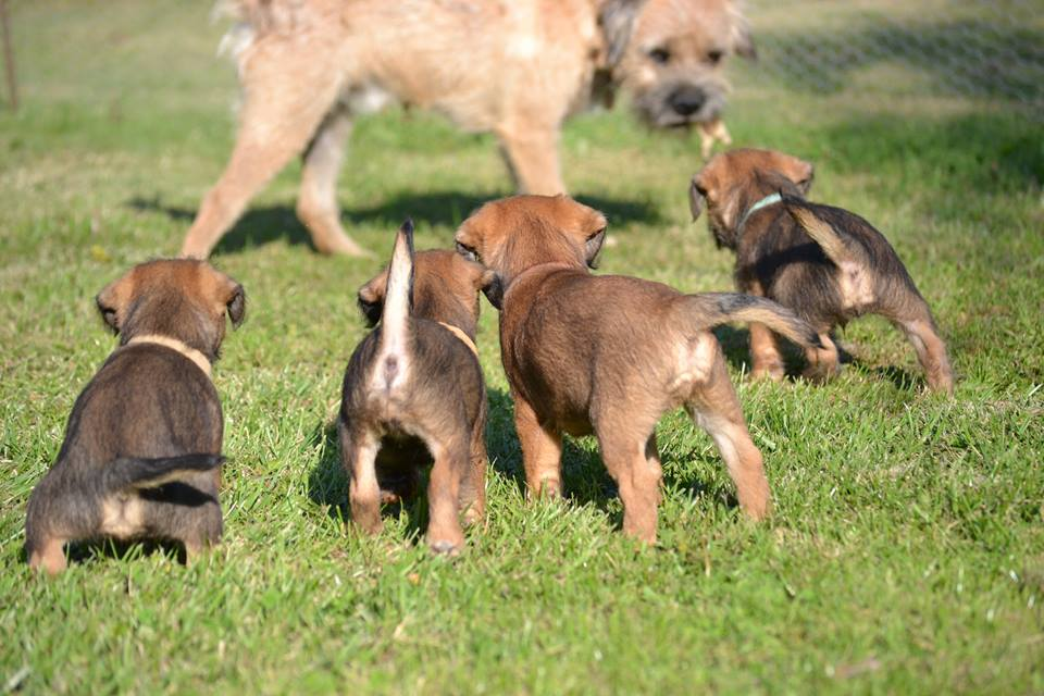 Adopter Tres Beau Border Terrier A Don Chien
