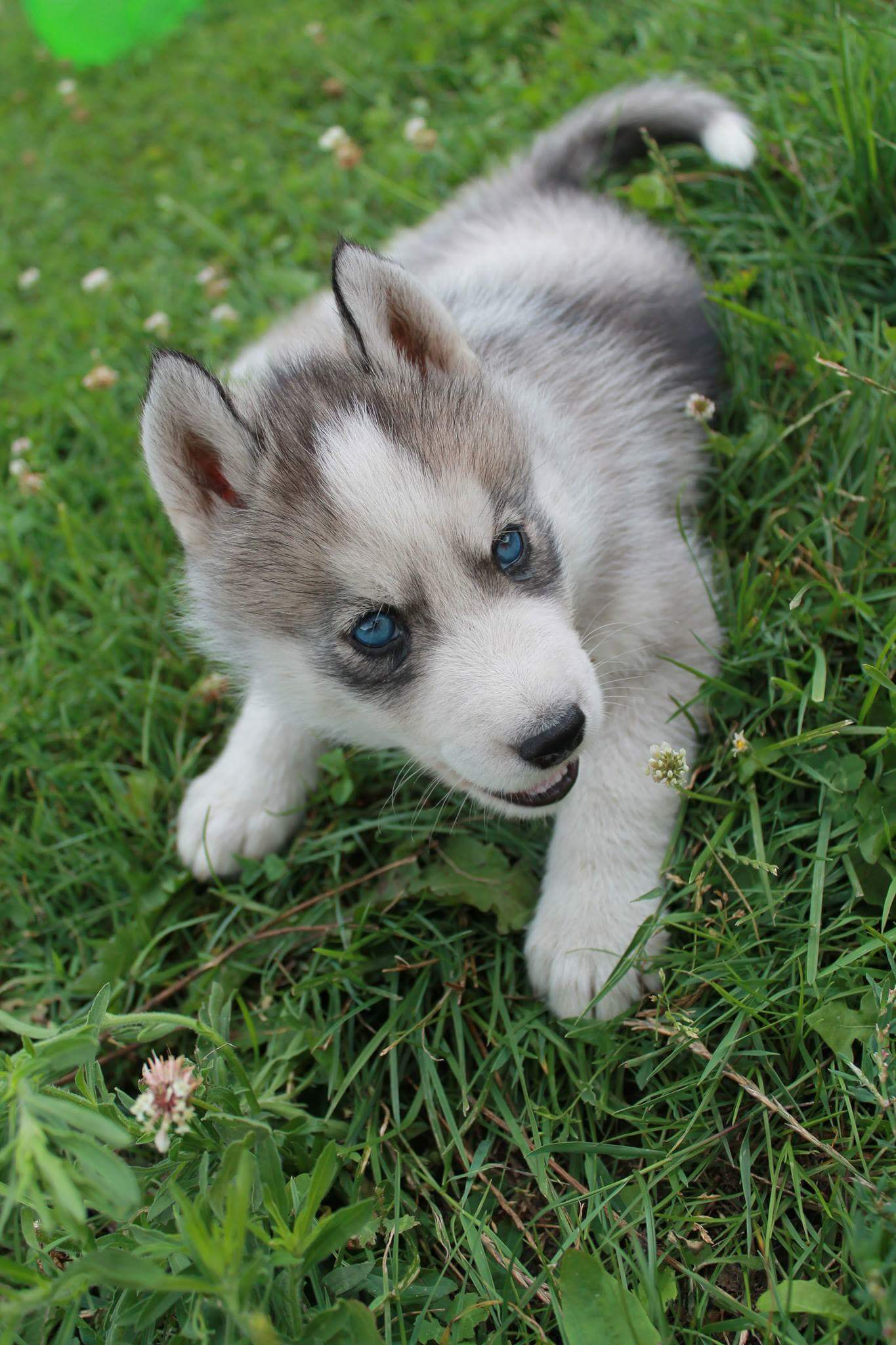 Adopter Chiot Husky A Vendre Chien