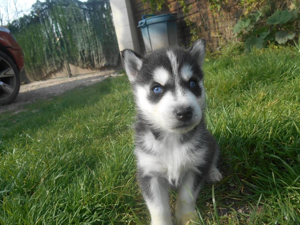 Adopter Urgent Bb Husky De Siberi Chien