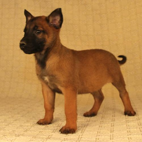Adopter Chiot Berger Malinois A Donner Chien