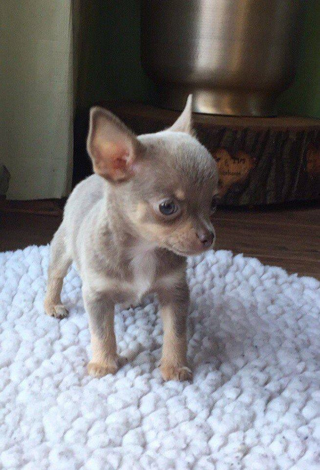 Adopter Adorable Chiot Chihuahua Chien