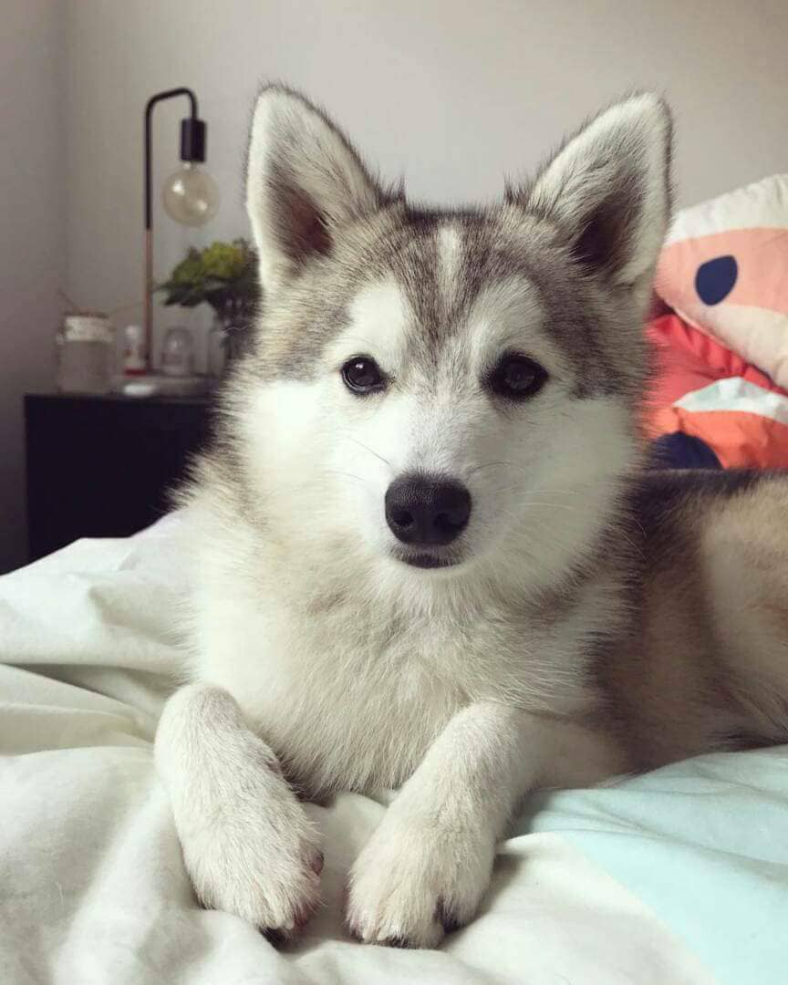 Adopter Chiot Type Pomsky Tres Caline Chien