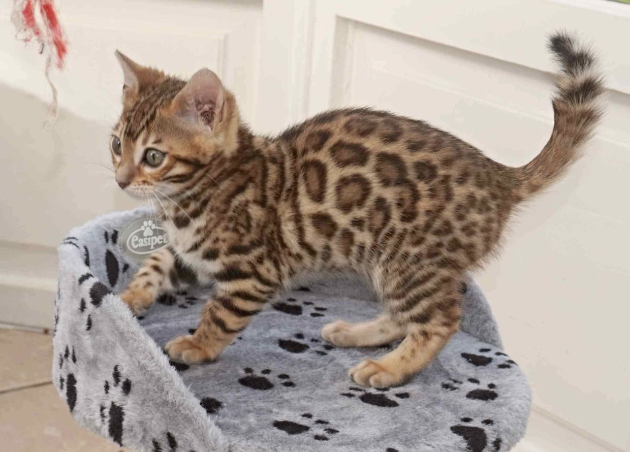 Adopter Adorable Chaton Bengal Disponi Chat