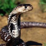 Serpentin