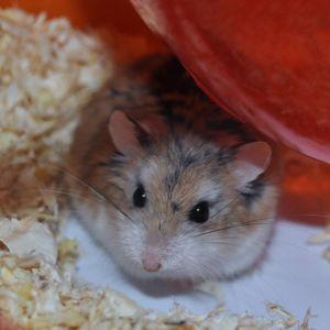 photo Hamster de Roborovski Rongeurs