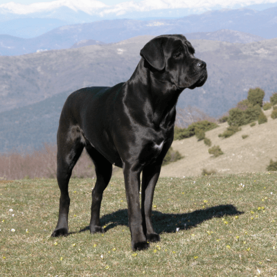 photo Cane Corso Chiens