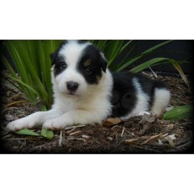 photo Border Collie Chiens