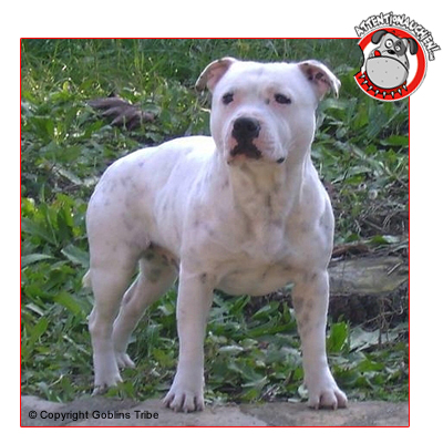 photo Staffie Chiens