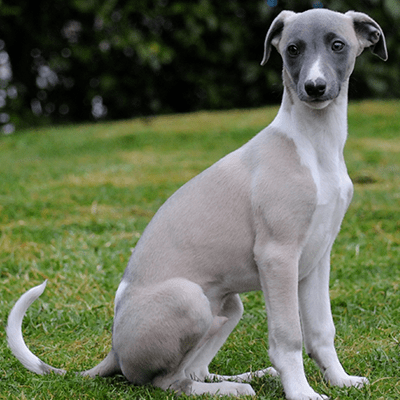 photo Whippet Chiens